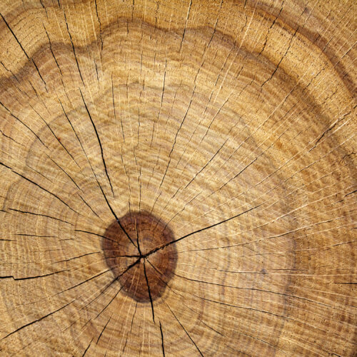 Tree  oak  cut